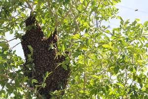 Bee swarm near admin. office continues to exist